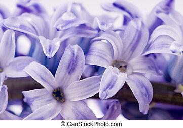 hyacinthus flowers on white