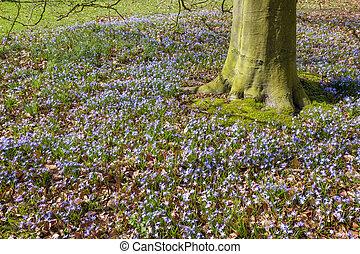 hyacints, debajo, un, haya, árbol.