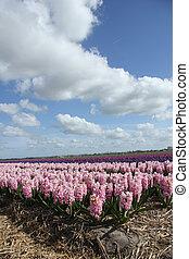 hyacints, en, un, campo