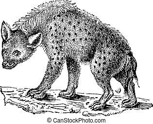 hyaenas, iene, o, vendemmia, engraving.