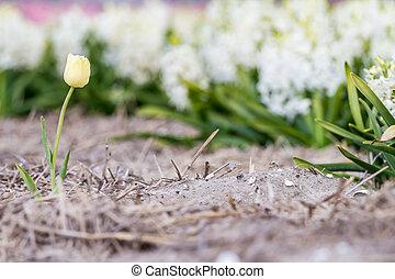 hyazinthen, mit, a, tulpenblüte