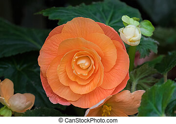 Hybrid Begonia tuberhybrida flower in salmon orange color in...