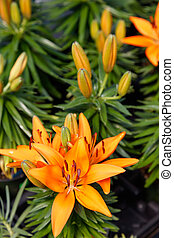 hybrid lily flowers