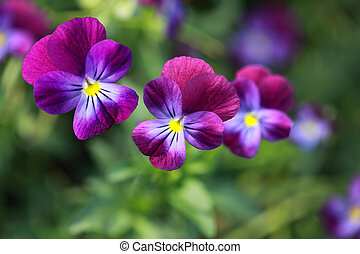 Hybrid pansy - Hybrid Pansy (Yellow, violet, blue) in summer...