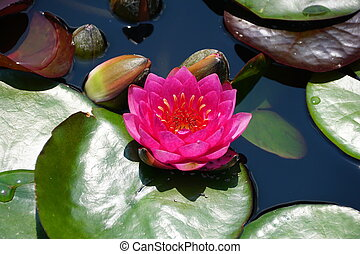 Hybrid 'Pink Silk' Waterlily flowers on the surface of a pond
