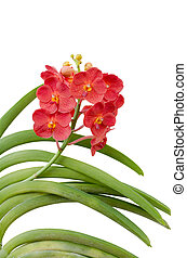 Hybrids vanda orchid isolated on white background