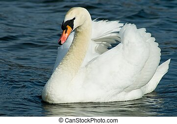 Hyde Park Swan - A regal swan, floating down the Serpentine...