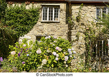 hydrangea and stone cottage at Manaton, Devon - view of old...