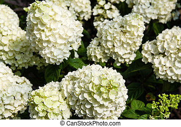 hydrangea blanc, usines, dans, fleur pleine