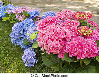 Hydrangea blue and pink flowers at the garden