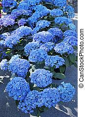 Hydrangea blue in pots