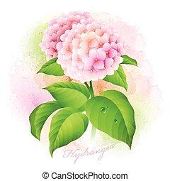 hydrangea., botanico, vettore, illustrazione