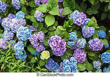 Hydrangea bush - Blue hydrangea flowers on the bush in the...