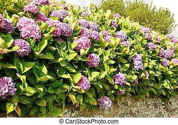 hydrangea, bush