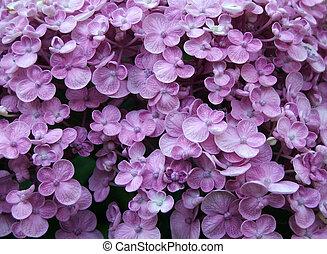 hydrangea, flor