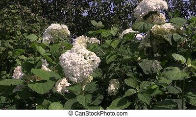 Hydrangea flower bush