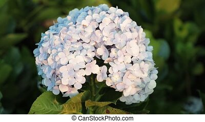 Hydrangea Flower Head White Stock Footage