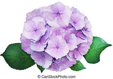 Hydrangea Flower - Single Purple Hortensia Hydrangea Flower...