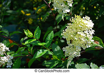 Hydrangea grows in a flower bed. Flowering shrubs in the garden design. Beautiful summer landscape on a summer day.