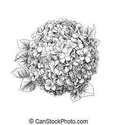 Hand-drawn hydrangea on white background
