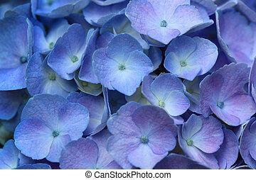 Hydrangea Homigo Hortensia flower for natural background