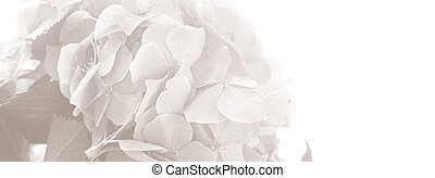 Hydrangea. Hortensia flowers background