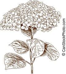 hydrangea, ilustração