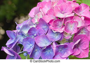 close up of a pink and purple hydrangea plant