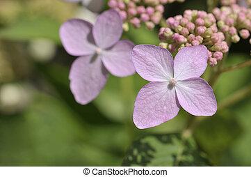Tricolor Hydrangea macrophylla in bloom
