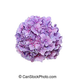 Mop head hydrangea flower isolated against white