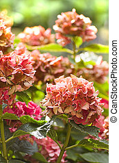 Hydrangea or hortensia flowers in autumn