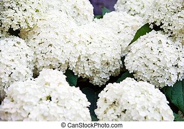 white bunches flowers of Hydrangea Paniculata, closeup