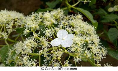 Hydrangea Petiolaris - Inflorescence of Hydrangea...