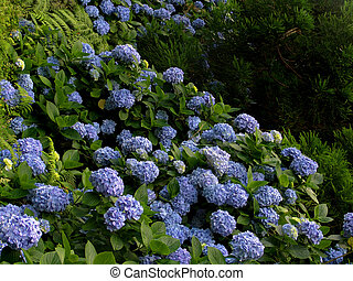 hydrangea - Hortensia (Hydrangea Macrophylla) typical flower...