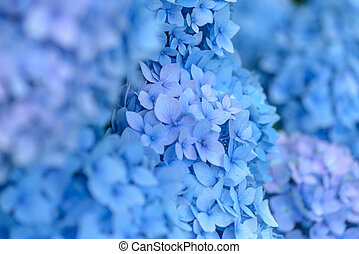 Hydrangea - Closeup of beautiful blue hydrangea flowers