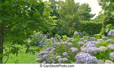 Hydrangea shrub in summer. Light purple flowers.
