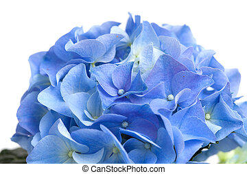 hydrangea - blue hydrangea isolated on white