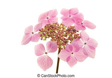 Hydrangea - Lacecap Hydrangea flower isolated against white