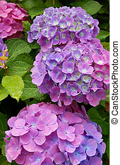 Hydrangea, taken on 2007 summer, in Germany