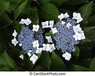 Hydrangea - Blue Hydrangea