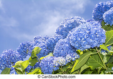 Several bright blue hydrangea flowers under blue sky