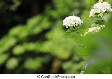 Hydrangea (white)