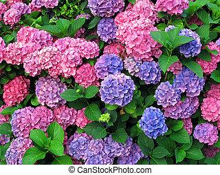 hydrangeas, coloridos