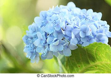 hydrangeas, fleurs