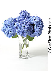 Hydrangeas in vase - Mophead hydrangeas in a glass vase. ...