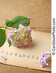 Hydrangeas with copy space