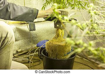 hydroponic, cannabis, cultivo, crescendo, marijuana., raizes, water.