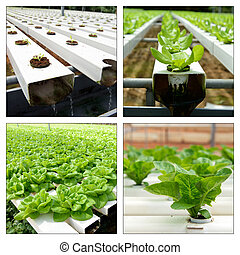Hydroponic collage - Collage of hydroponic vegetables in...