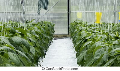 Hydroponic Cultivation - Greenhouse Cultivation of Green...