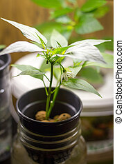 hydroponic growing pepper plant indoor